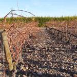 CIRCE coordina un proyecto en la D.O.P. Cariñena sobre economía circular y usos de prepoda como biomasa