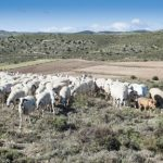 Optimizando praderas para ovino en extensivo
