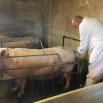 Estudio para reducir las infecciones por inseminación artificial