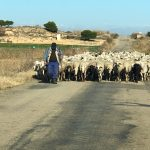 La pradera influye en el rendimiento del ovino
