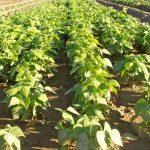 La judía verde, en demanda creciente, ¿la segunda cosecha en Cinco Villas?
