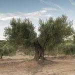 En busca del mejor aceite aragonés