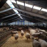 Menos Gases de Efecto Invernadero en la ganadería ovina